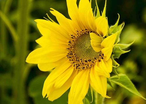 zonne-bloem